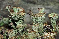 Natur-Kunst vom Wald: Flechte aus der Cladonia pyxidata-Gruppe. * - Un lichen trouvé dans la forêt!