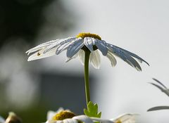 Natur-Schirmchen