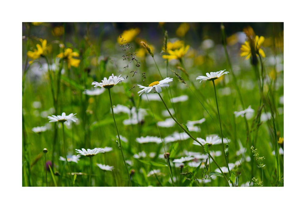 Naturblüemliwiese