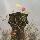 Nature - Winterrose