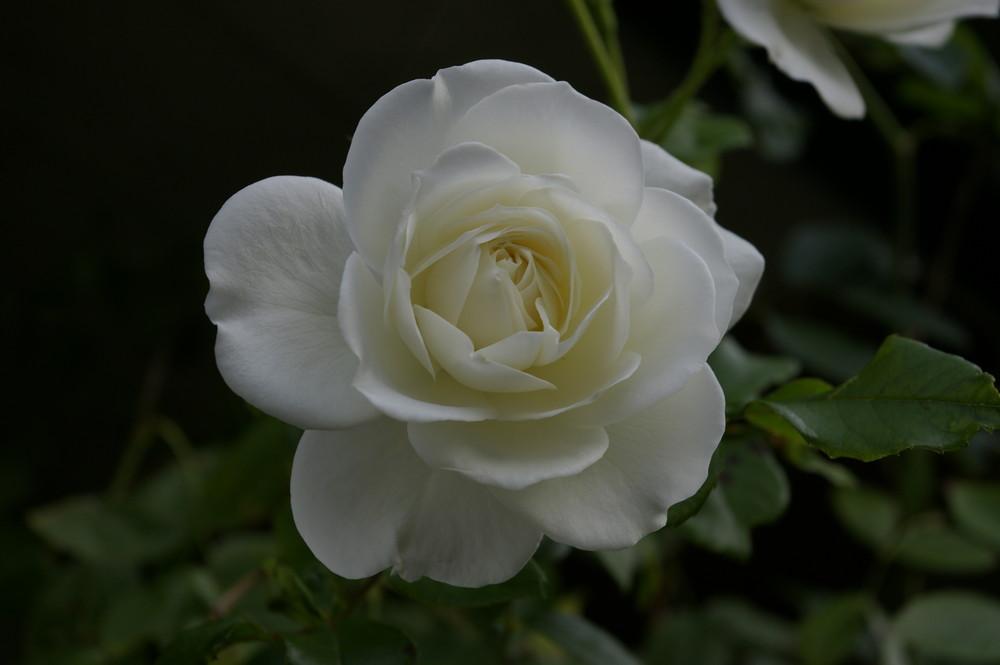 Naturgetreue Rose