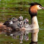 Naturpark Schwalm-Nette   De Wittsee - Haubentaucher mit Jungvögeln