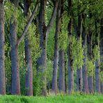 Naturpark Schwalm-Nette   Niersaue - Pappelbäume im Abendlicht