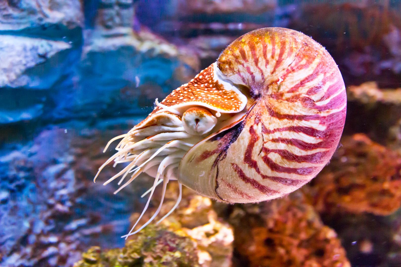 Nautilus im Sealife Konstanz