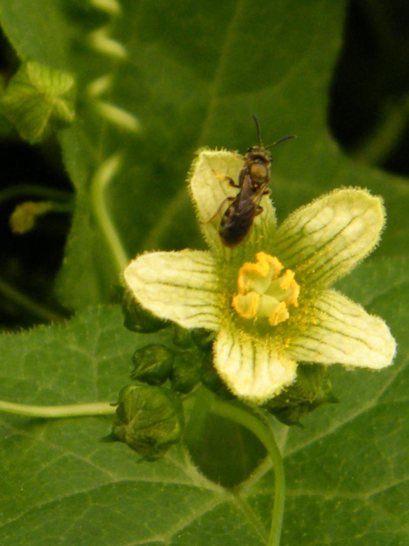 Navet du diable ... Moi je préfère Brione , et le pollen est bon partout !