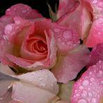 Ne pleurez pas mes roses