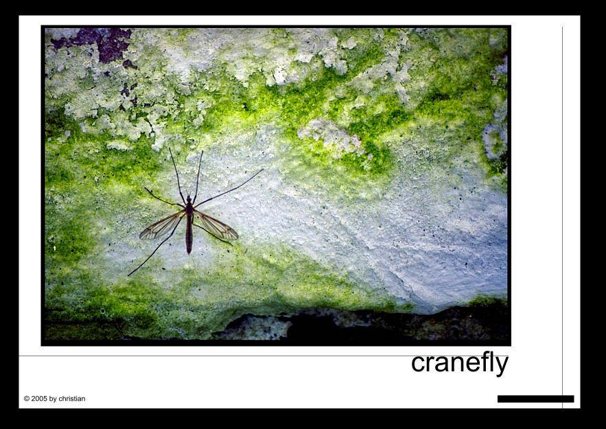'ne schnake... oder cranefly :)
