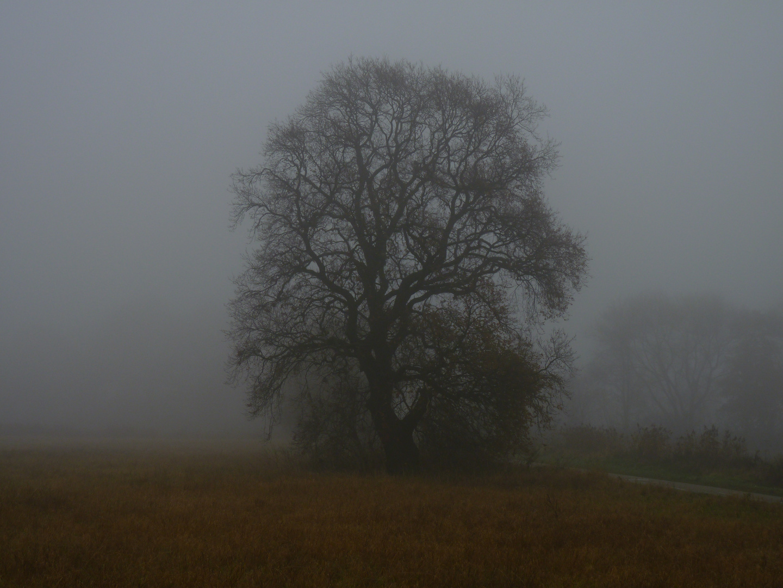 Nebel Eiche