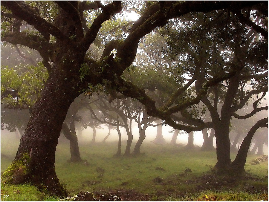 Nebel im Lorbeerwald
