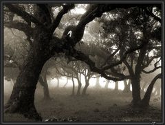 Nebel im Lorbeerwald...