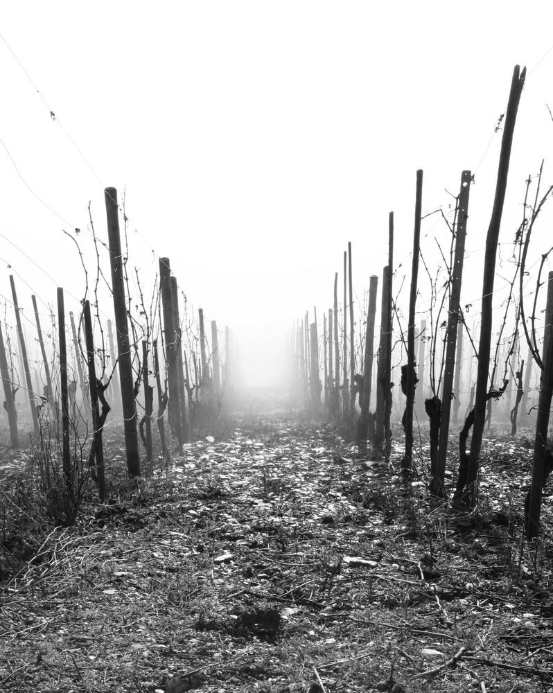Nebel im Weinberg
