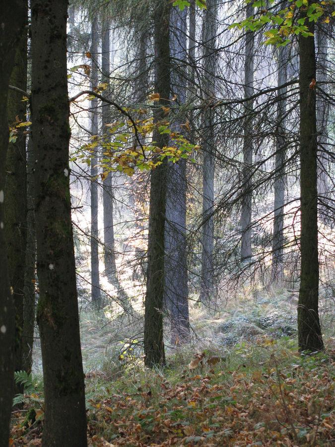 nebel zwischen den bäumen