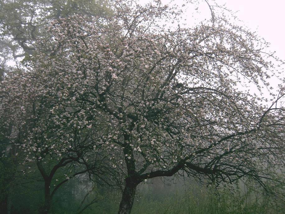 Nebelblüten