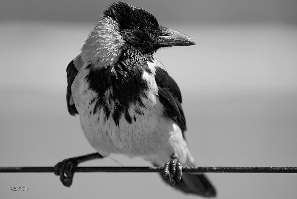 Nebelkrähe ( Corvus corone sardonius )