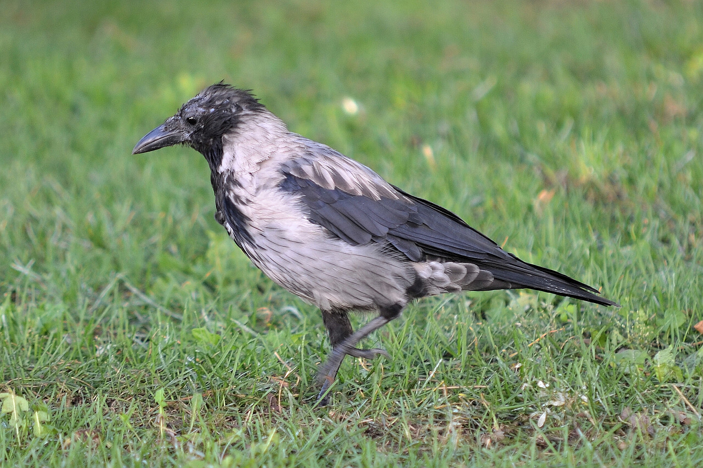 Nebelkrähe, Jungvogel, (Corvus cornix), hooded crow, Corneja