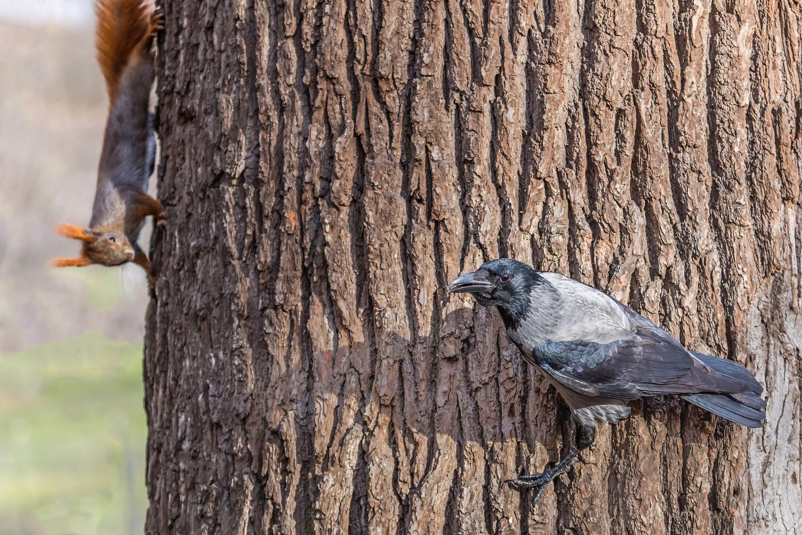 Nebelkrähe mit Eichhörnchen