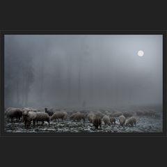 Nebelschafe