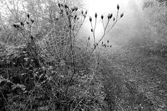 Nebelschönheit
