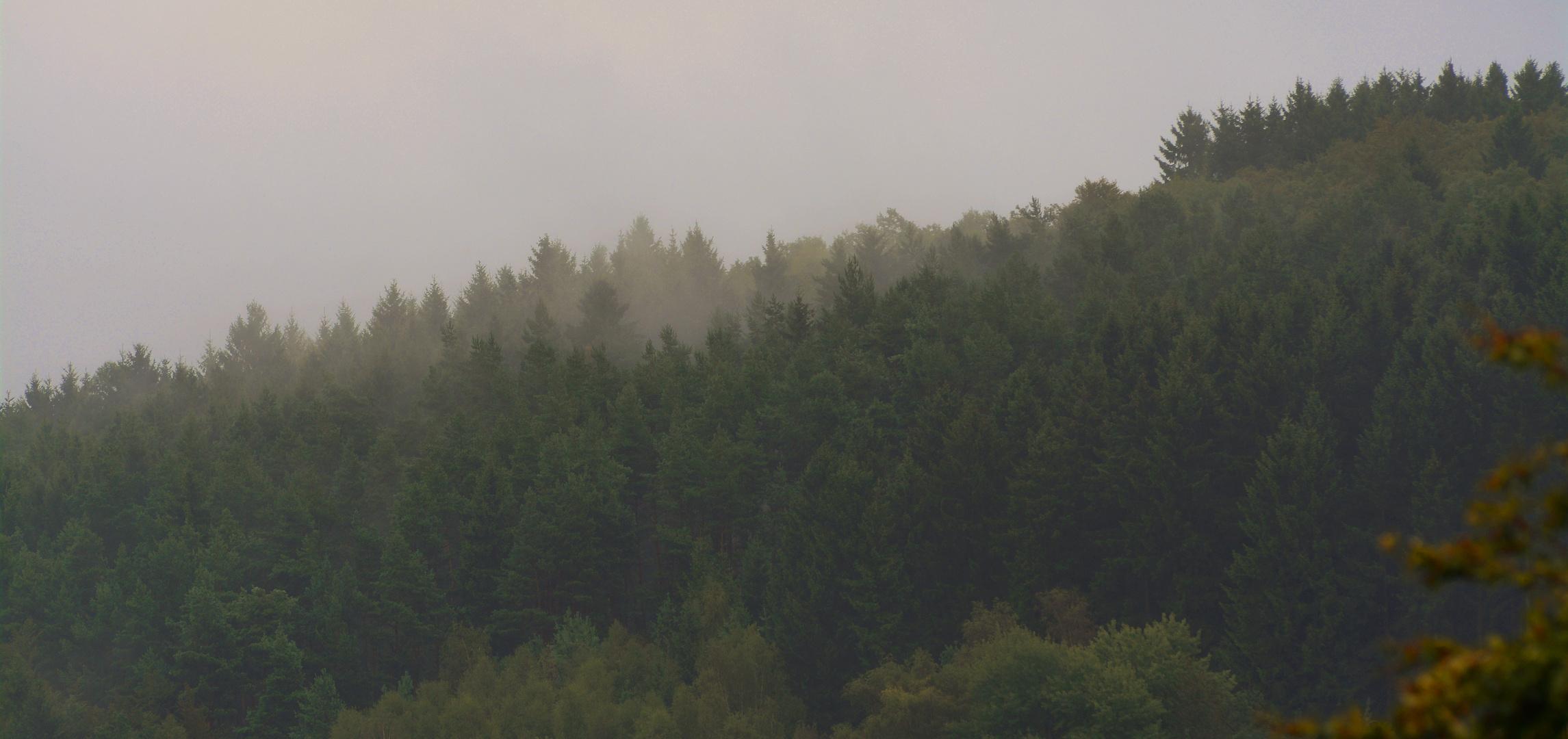 Nebelschwaden in sauerländischen Fichtenwipfeln