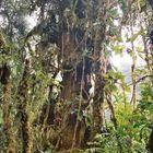 Nebelwald Monteverde in Costa Rica