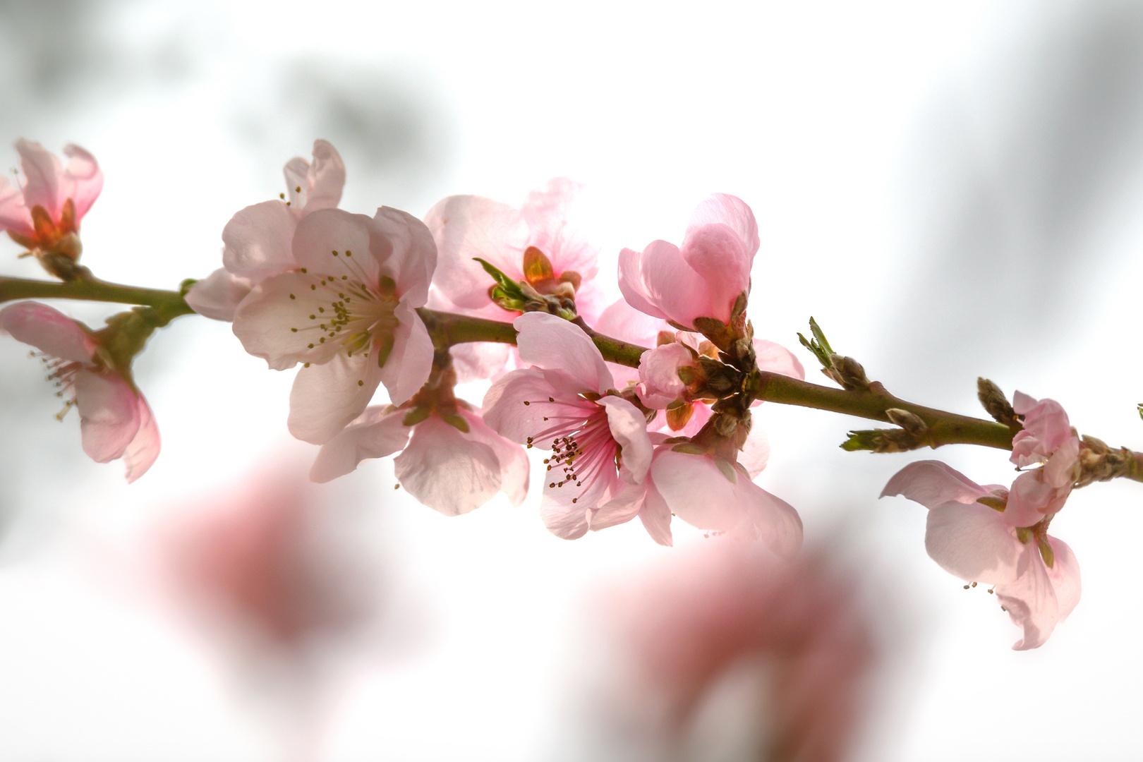 Negtarinenblüte