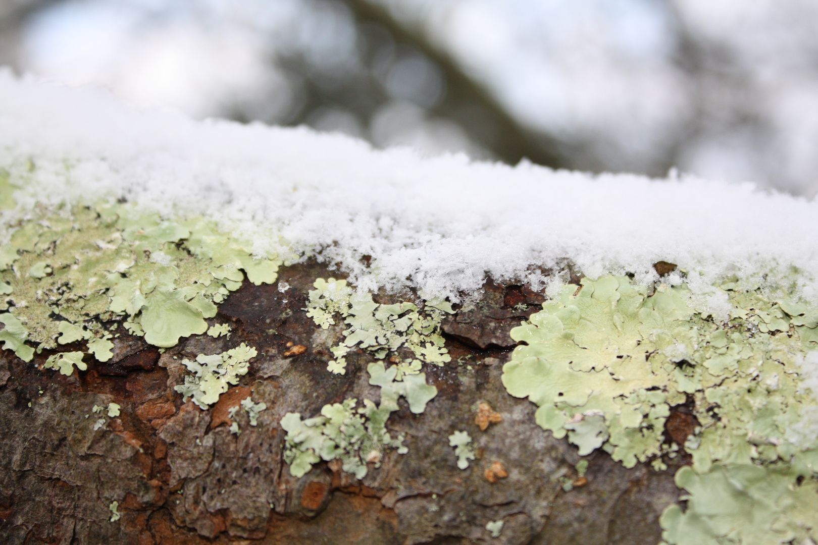 neige et lichen