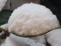 neige fraiche sur feuille de magnolia....