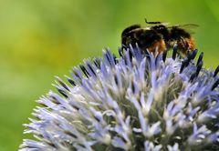 Nein! Das ist mein Pollenklößchen ich war zuerst ....