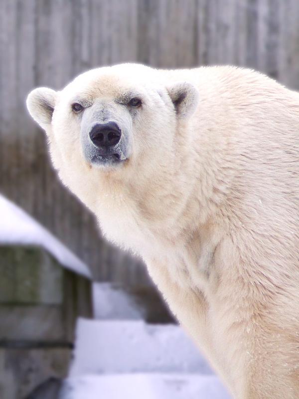 Nein, nicht der Knut