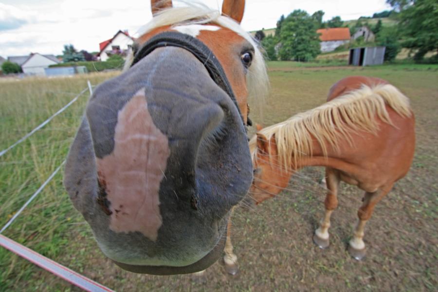 Nein, Pferde sind nicht neugierig! Das ist aber eine echte Neugiernase