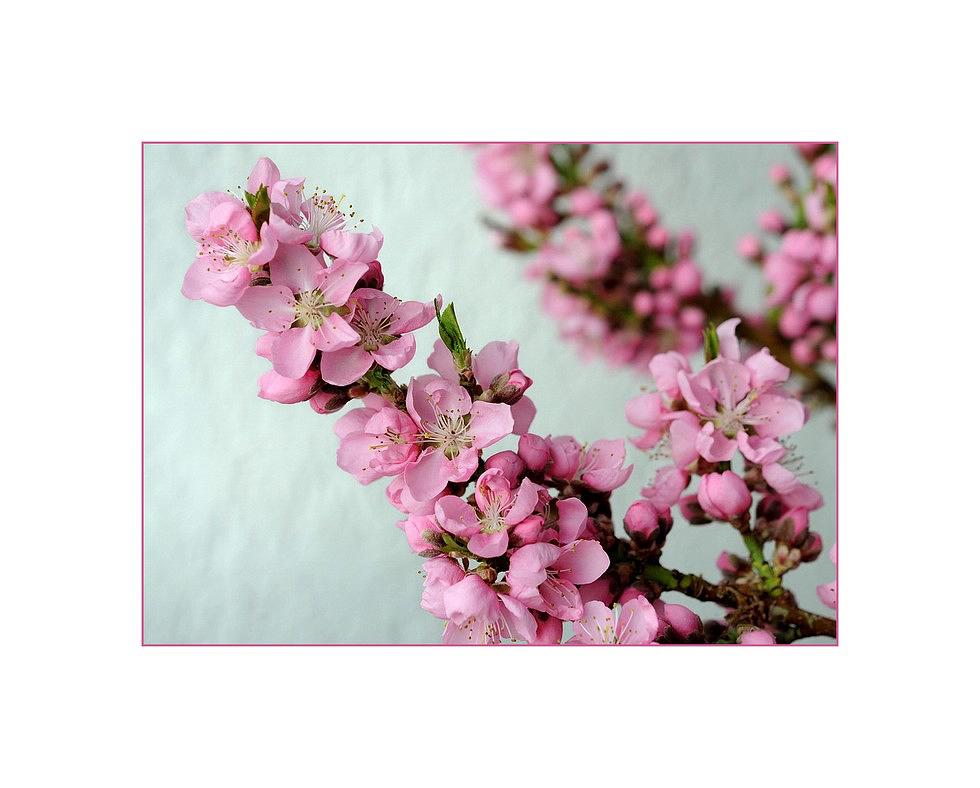 Nektarinenblüten_2