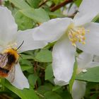 nektarsammler