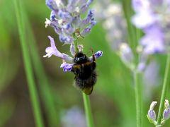 Nektarschnüffler am Lavendelstengel