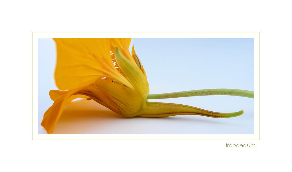 . nektarsporn .
