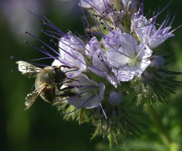 Nektarsuchende Biene