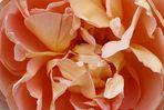 Nel cuore della rosa