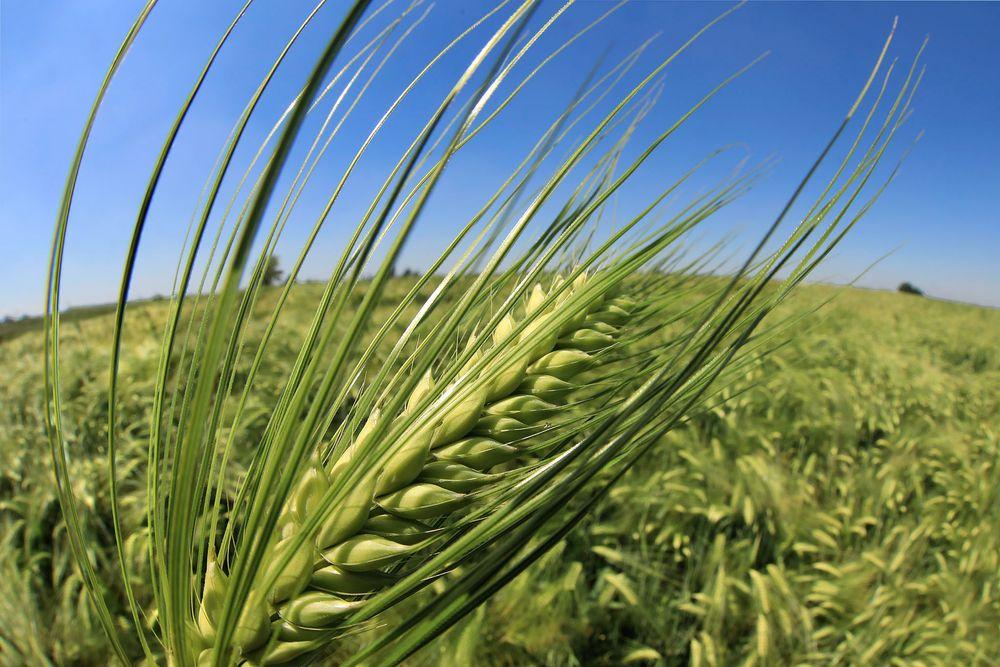 nel grano