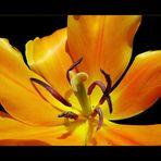 nel tulipano