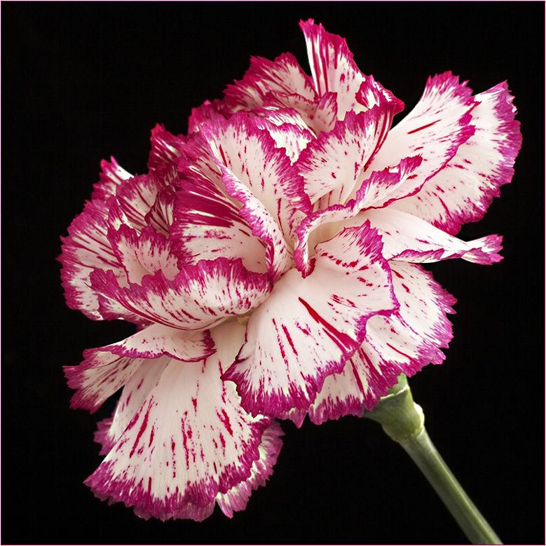 nelke foto bild pflanzen pilze flechten bl ten kleinpflanzen gartenpflanzen und. Black Bedroom Furniture Sets. Home Design Ideas