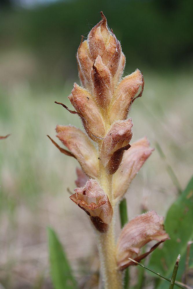 Nelken-Sommerwurz (Orobanche caryophyllacea)