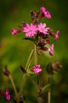 ~ Nelkengewächse (Caryophyllaceae) II ~