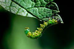Nematus ribesii - Larve einer Blattwespe