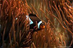 Nemo .... der Anemonenfisch