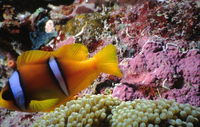 Nemo II