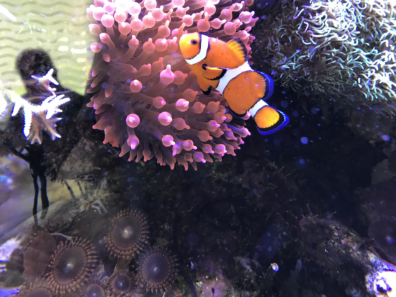 Nemo im Meerwasseraquarium