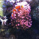 Nemo im Meerwasseraquarium 2