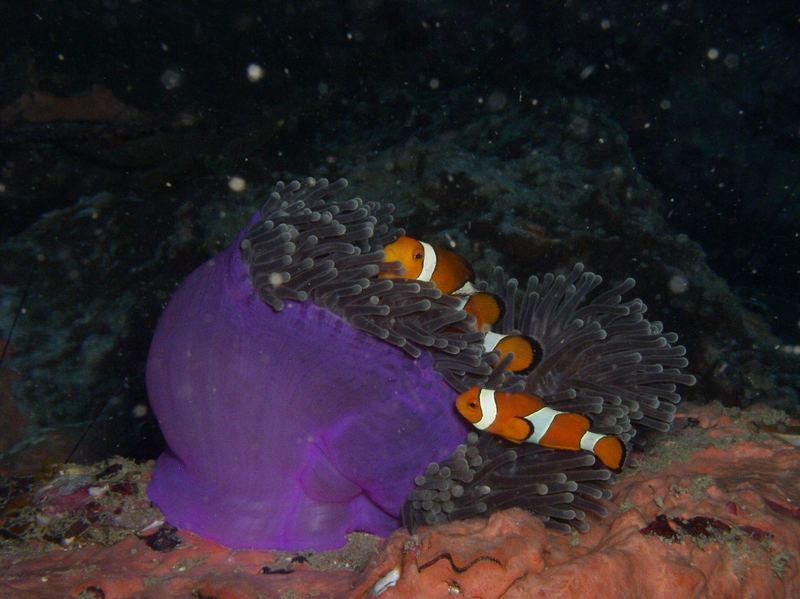 Nemo in der Anamansea