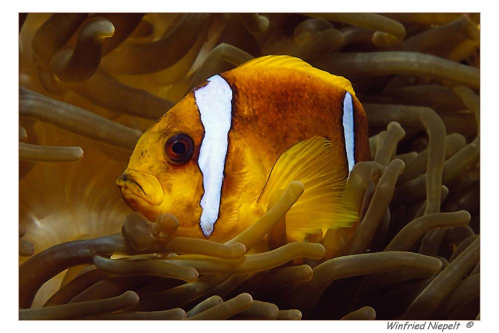 Nemo Senior