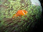 Nemo versteckt sich !