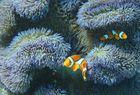 Nemos Clownfische Anemonenfische
